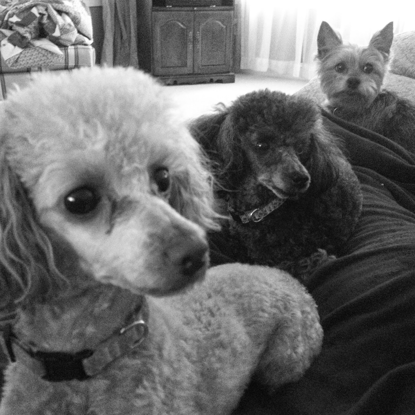 Poodles and a Yorkie