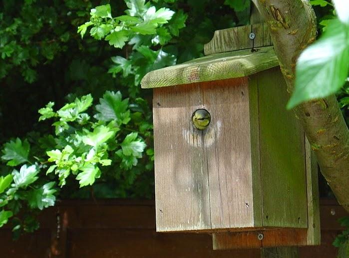 Y que le guste a los pájaros. Caja-nido para aves silvestres