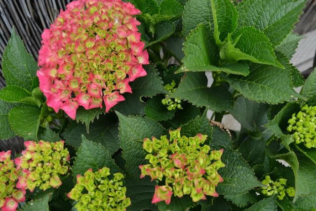 Terrace Hydrangea Blooms