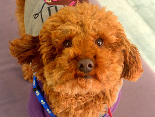 cute-poodle-brown-color