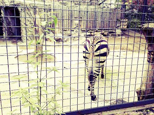 Zebra Ueno Zoo Japan