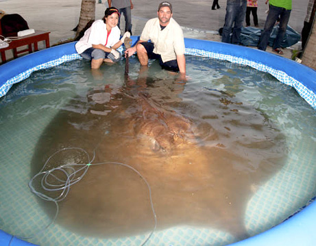 Largest Marine Sea Creatures Out There Giant Stingray