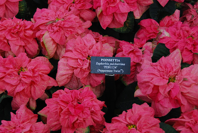 Poinsettia 'Peppermint Twist' is full of ruffles