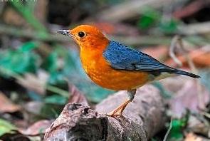 burung anis merah bata merupakan burung yang berasal dari bali disana