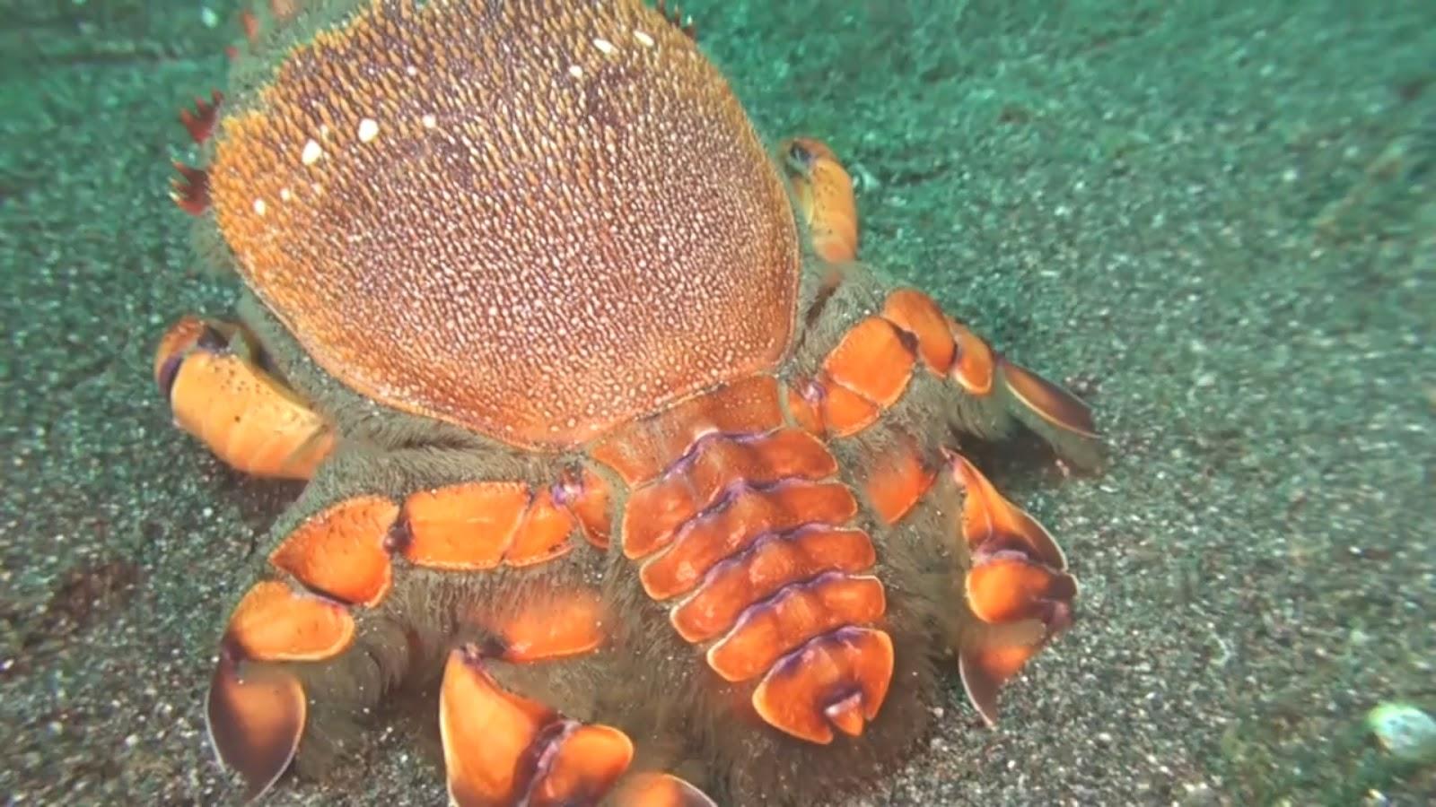 real monstrosities spanner crab