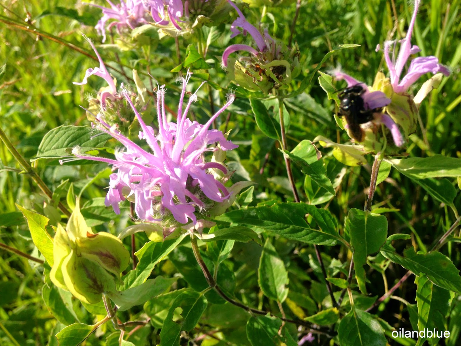 http://oilandblue.blogspot.com/2014/07/wild-harvesting-bee-balm-wild-bergamot.html