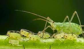 Insecticide bio maison contre pucerons