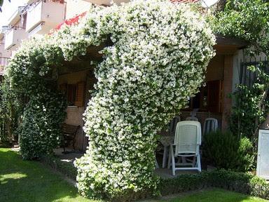 Um jardim para cuidar aromas de ver o for Falso gelsomino in vaso