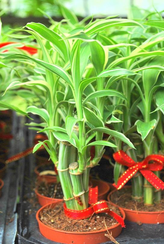 Hydroculture plants fortune bamboo stick plant