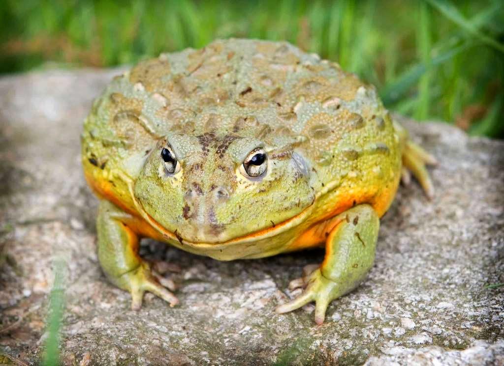 Katak raksasa african bullfrog