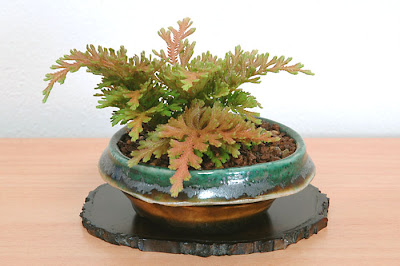 コガネシダD(黄金羊歯盆栽)Selaginella moellendorffii bonsai