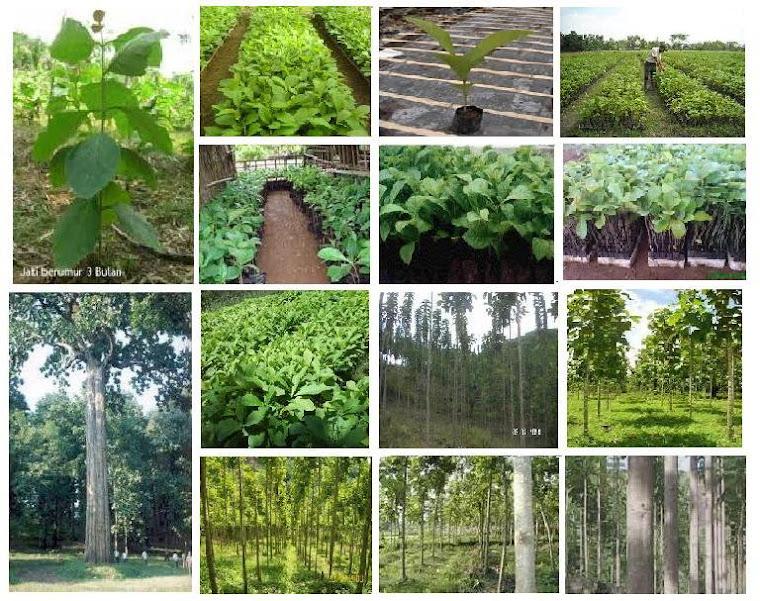 Gambar Jati Bibit - Pohon
