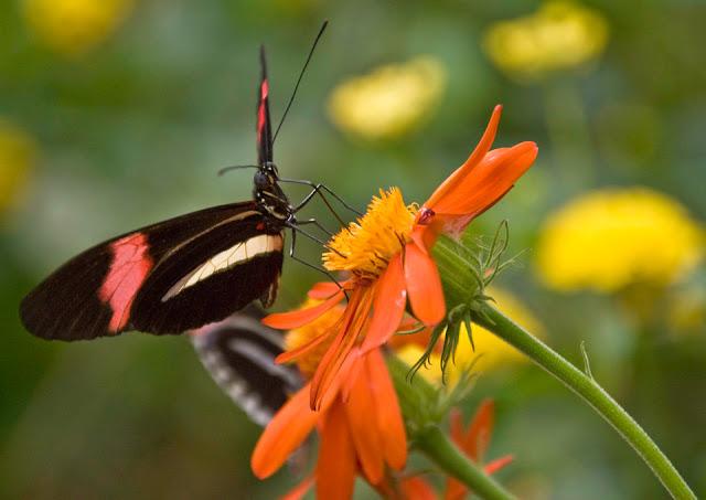 Sommerfugl suger nektar på blomst