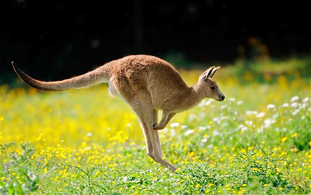 All About Animal Wildlife: Kangaroo Images and Facts