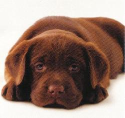 Chocolate Labrador Puppies on Gift 1   A Chocolate Labrador Puppy  I Ve Wanted Another Dog For So