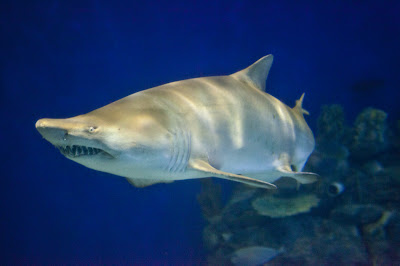 sand devil shark  Sand Tiger Shark Eating