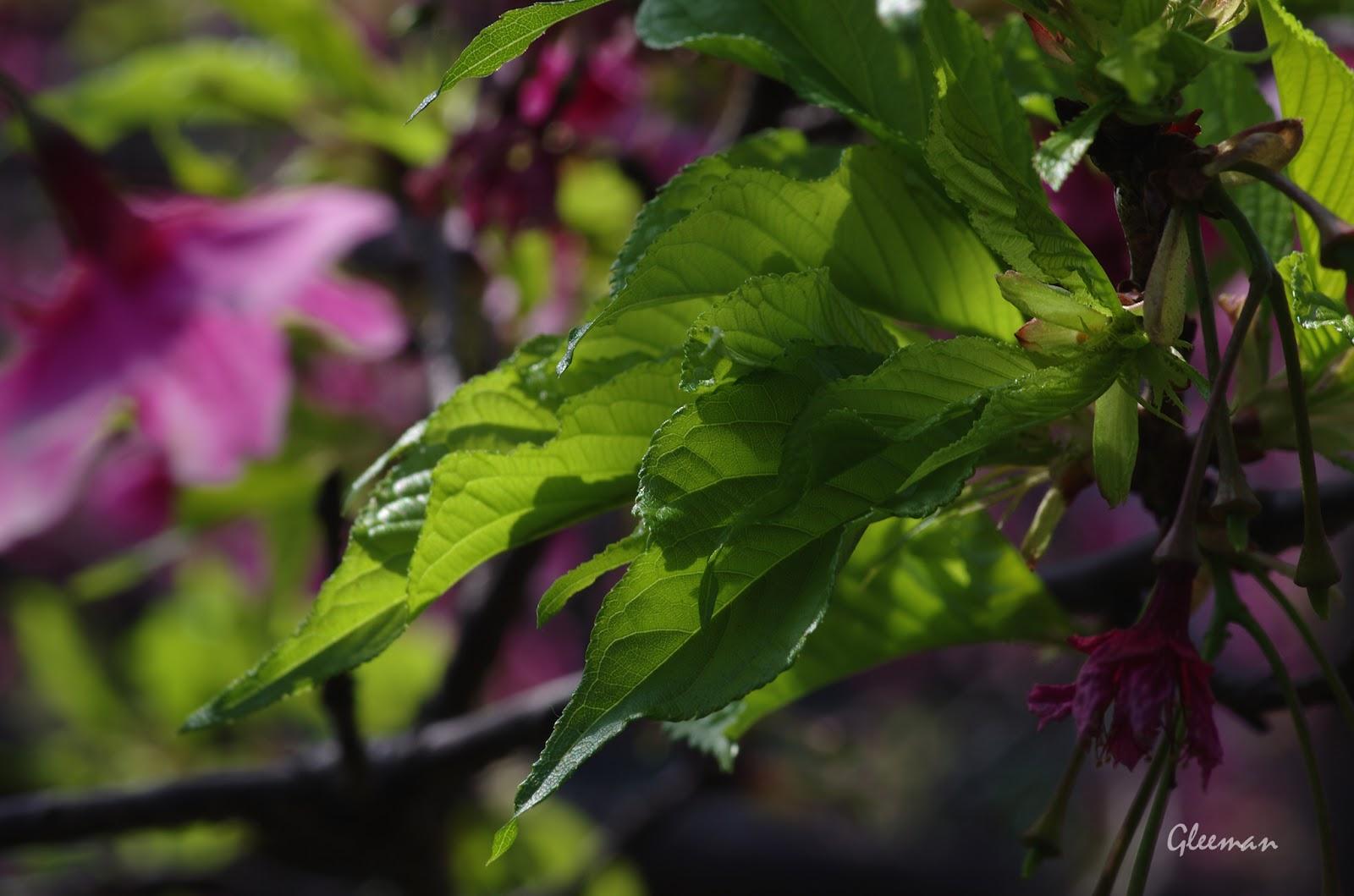 雞南山腳的櫻花,新綠