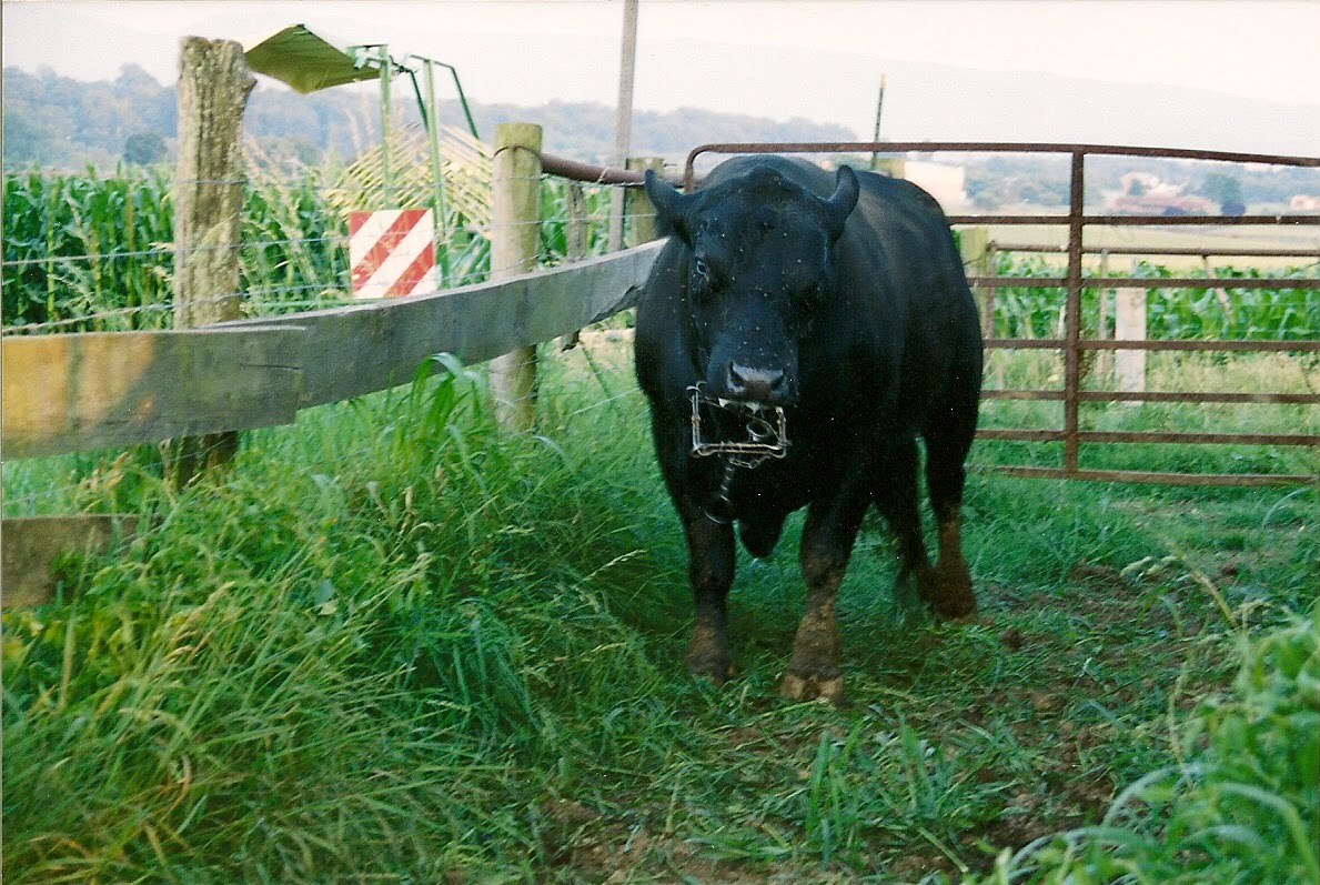 Muskrat traps the story behind the pictures day 242 the bull and