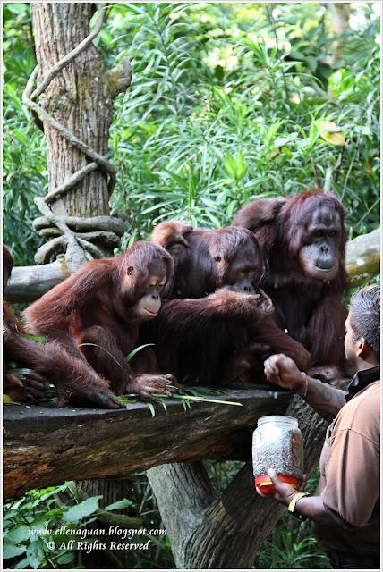 Wildlife Reserves Singapore (WRS) Food Trail 2012 - Singapore Zoo