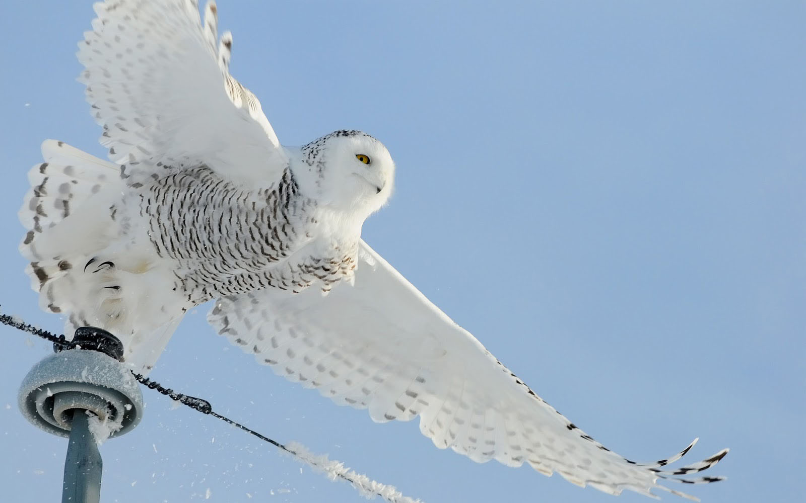 snowy owl Information, photos and printable worksheets about the snowy owl.