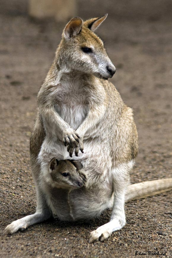 kangroo mother with baby