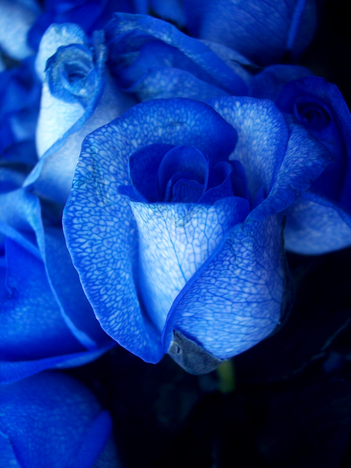 Blue roses blue roses blue flowers blue roses pictures charm and attraction at first sight also highlight the meaning of the blue rose lilac and lavender have been interconnected with each other as a symbol of izmirmasajfo