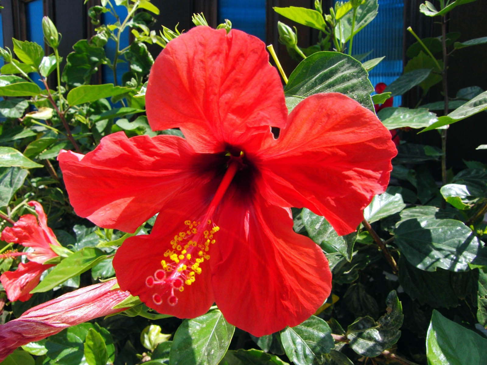 Ls of hibiscus flower