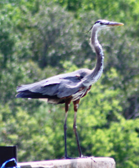 Photograph of Blue Heron by Darla Sue Dollman