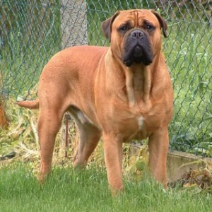 Bullmastiff Dog Breeds