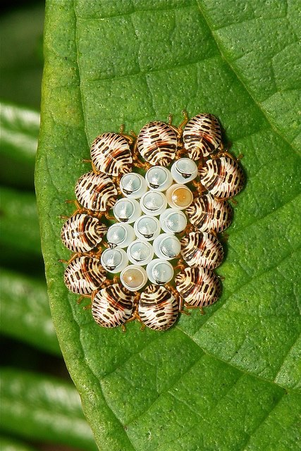 Amazing-Shield-Bugs-Eggs