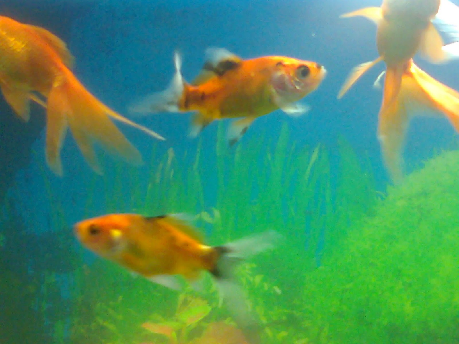 Gold fish aquarium for Fish tank for goldfish