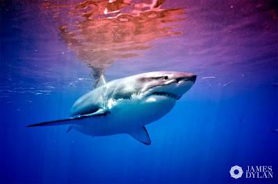 shark diver 2012 white shark diving isla guadalupe