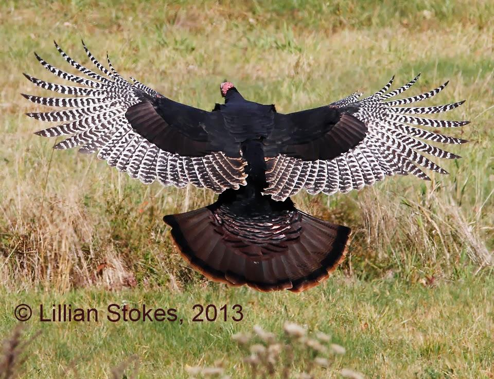 Wild turkey flight - photo#26