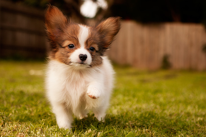 world s smartest dog breeds the papilon what is scary dog yep this dog