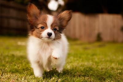 Top 10 Worlds Smartest Dog Breeds the papilon