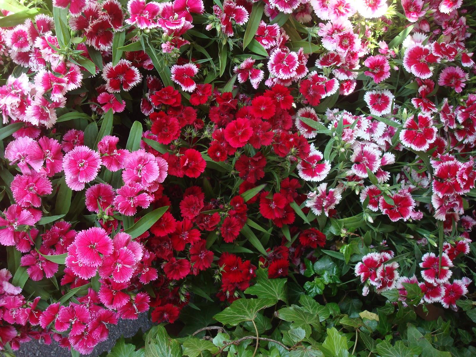 Fleuriste isabelle feuvrier l 39 oeillet de chine - Oeillets de poete ...