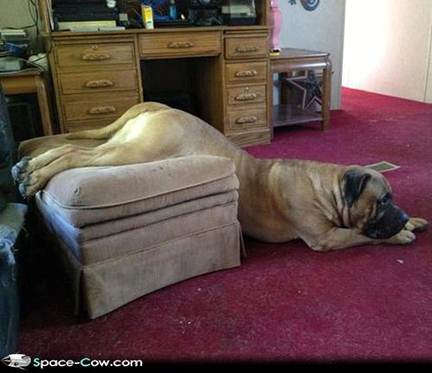 we need new furniture big dog funny image big dog furniture