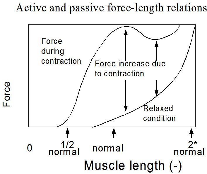 force length relationship cardiac muscle labeled