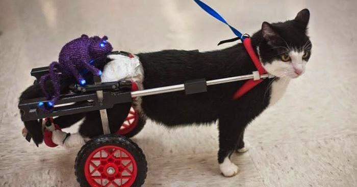 Kucing Ini Tetap Comel Dengan Roda Khusus Pada Kaki