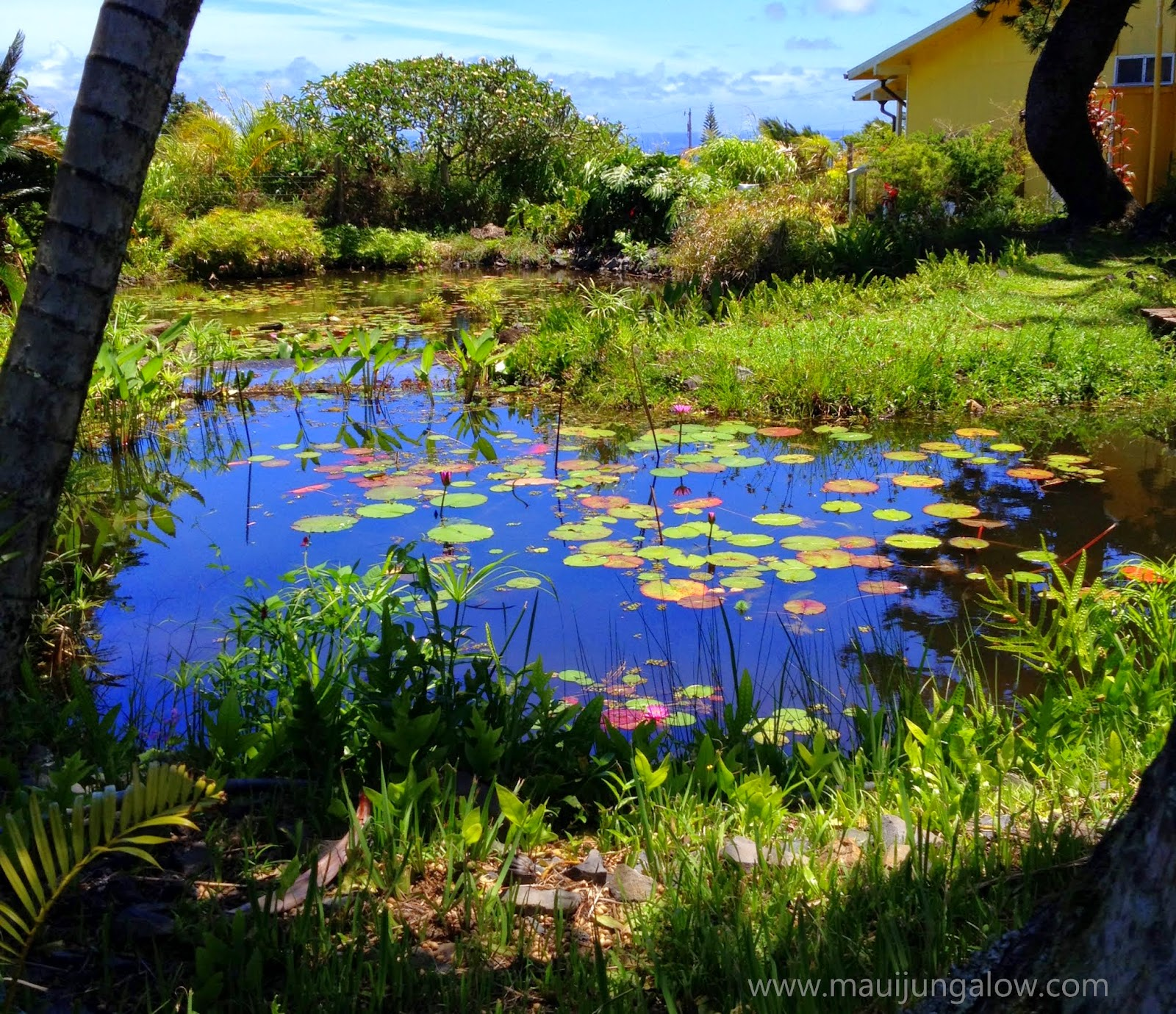 Maui jungalow the gorgeous maui water lily farm one of the water lily ponds at the maui water lily farm izmirmasajfo Gallery