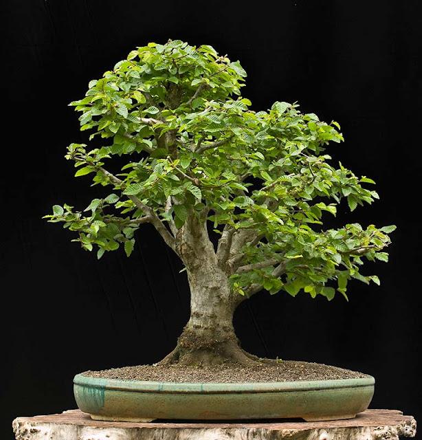 walter pall bonsai articles die naturalistische. Black Bedroom Furniture Sets. Home Design Ideas