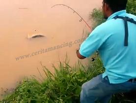 Gila Mancing Ikan Patin Si Hiu Air Tawar