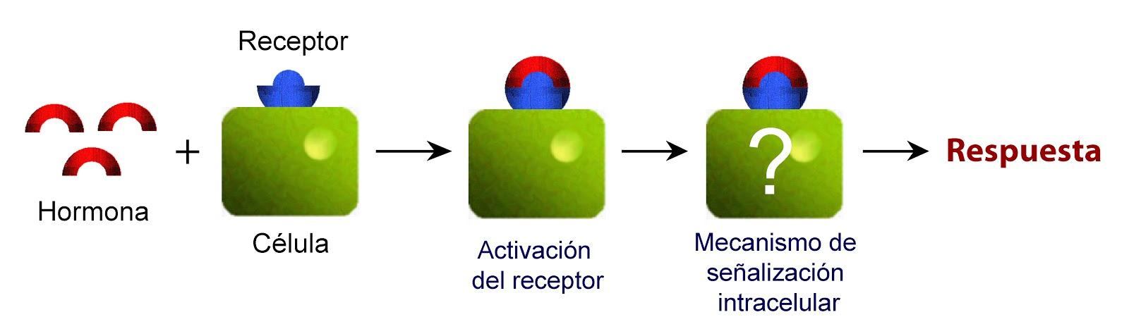 La hormona activa su receptor en la célula y éste pone en marcha un mecanismo que produce una respuesta