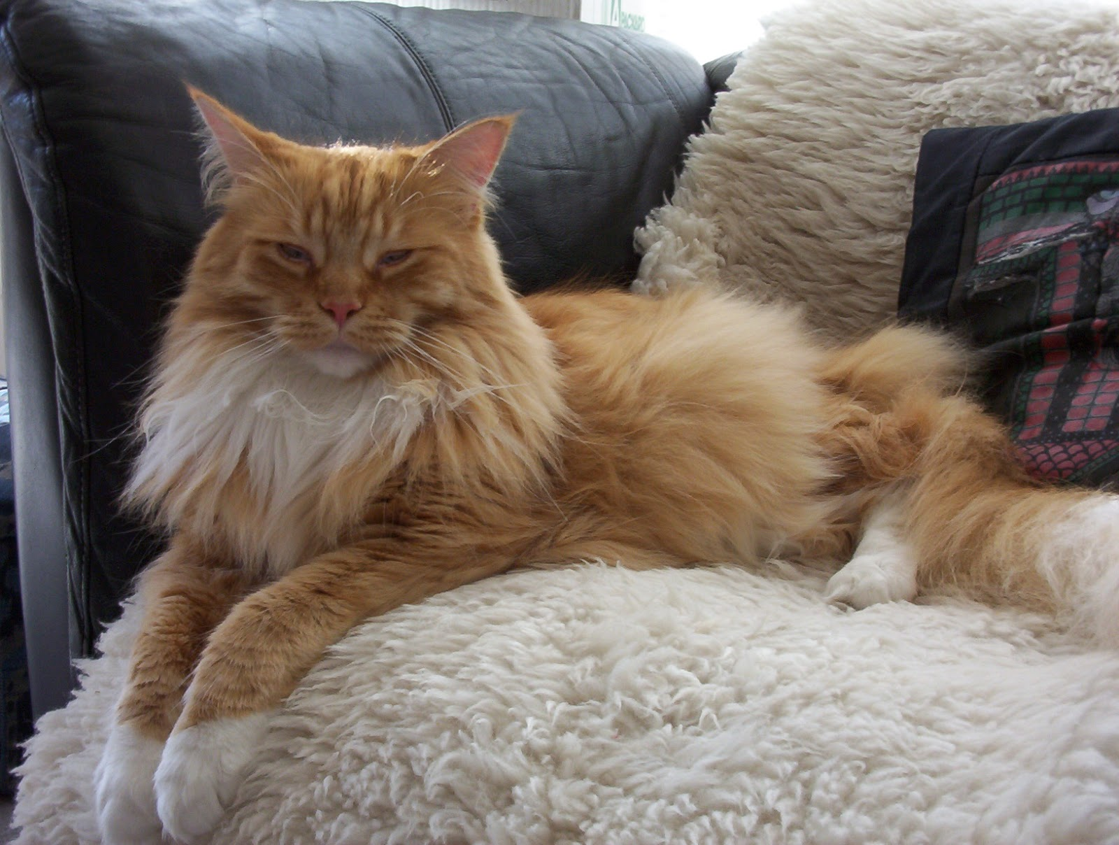 maine coon cats cute cats