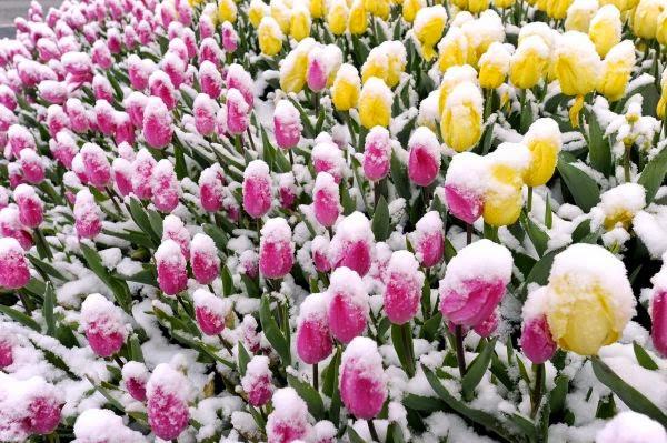 tải hình hoa tulip vàng full hd