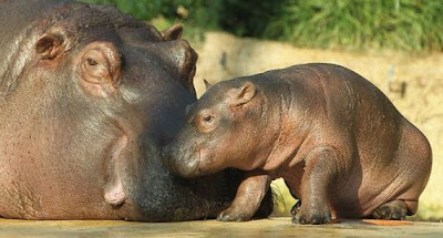 Baby Hippo and Its Mom in Berlin Zoo beautiful pictures