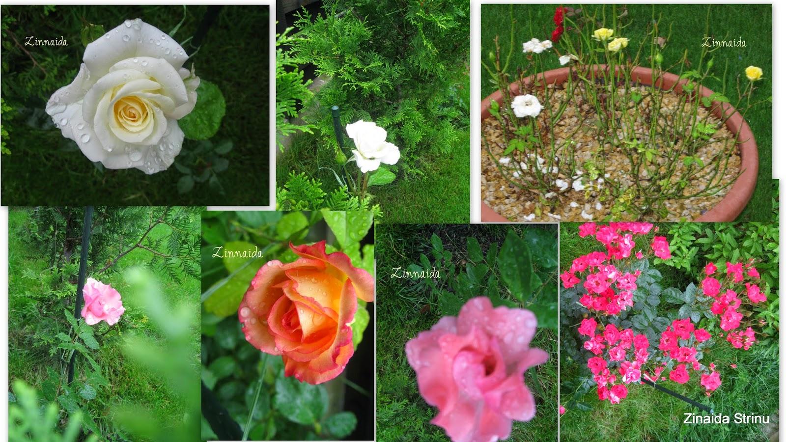 trandafiri-de-iunie
