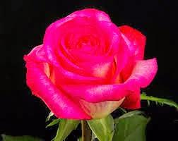 Rosa de Ecuador