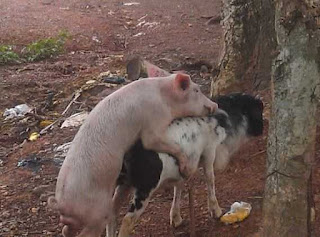 WTF? Photos Of A Pig Humping A Goat