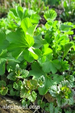 Манжетка мягкая, Alchemilla mollis, будра плющевидная, Glechoma hederacea, сочетание растений